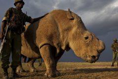 El último macho de los rinocerontes blancos del norte busca pareja en Tinder