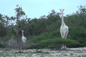 Las increíbles jirafas blancas