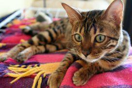 ¿Amas los gatos? Conoce los más caros del mundo