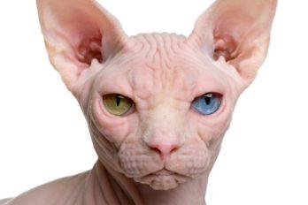 ¿Adoras a los gatos? conoce los 10 más raros del mundo ¡Quedarás con la boca abierta!
