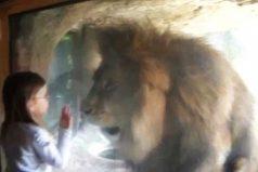 ¿Buscas un beso de película? Mira lo que le ocurrió a esta niña al tratar de besar a un león