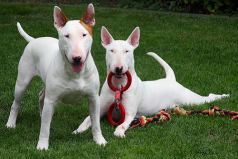 Los 10 perros más peligrosos del mundo ¿Vas a querer tener uno en tu casa?