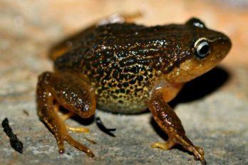 La nueva rana de cejas amarillas, ayudará a combatir las plagas