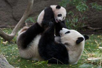 Mira lo que hace este oso panda para que su cuidador no lo abandone, morirás de ternura
