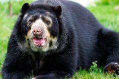 El oso de anteojos será la cara de Colombia
