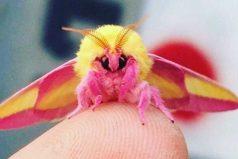 Conoce al insecto que podría ganarse el título del más lindo del mundo ¿Qué opinas de este tierno animalito?