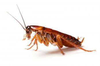 ¿No te gustan las cucarachas? Pues conoce las graves consecuencias si se extinguen