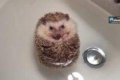 ¿Alguna vez has visto bañar a un puercoespín? ¡Este video te matará de ternura!