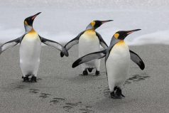 El pingüino, el ave más elegante de la naturaleza