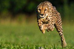 Muere la guepardo más rápida del mundo