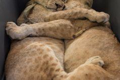 Dos hermanos leones se aferran a estar juntos durante su rescate en una zona de guerra