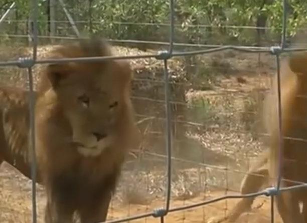 Leones vuelven a sudáfrica