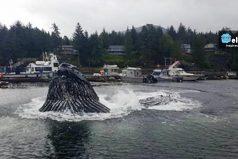 Una pareja de ballenas robó el show en un pequeño puerto de Alaska