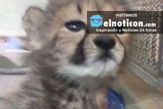 Orphaned Cheetah Cub Rescued