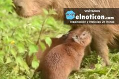 Capybara Surprises Zoo By Giving Birth To Additional Pups