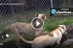 This cheetah and puppy are best buds