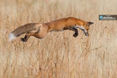 A Red Fox successfully pounces on prey