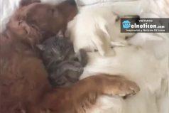 Watch 2 big dogs cuddle with their feline friend