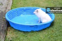 Mini Pig Loves His Pool