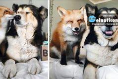 Desde que se conocieron, este zorro y este perro se volvieron totalmente inseparables