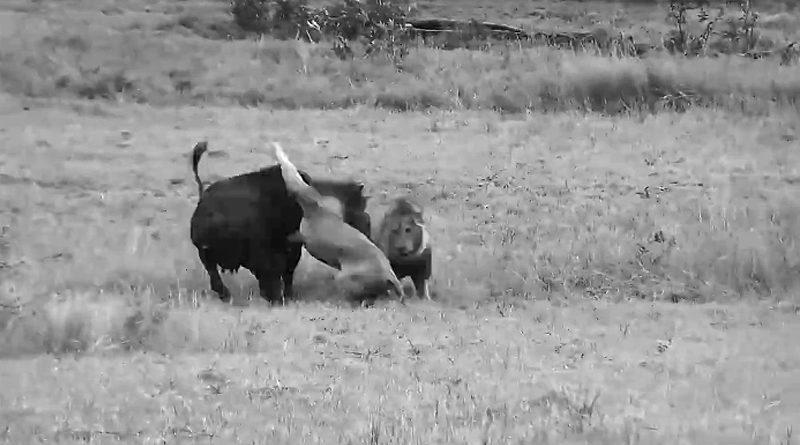 Leones cazando