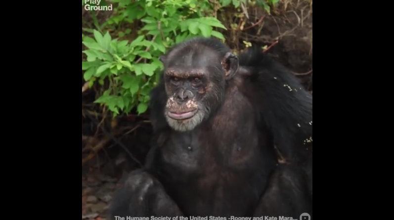 Chimpansé