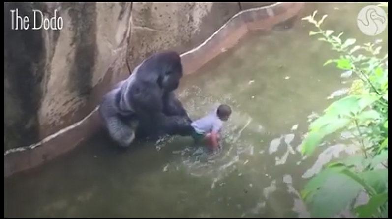 Gorila examinando a un niño