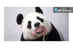 La ternura del nacimiento de un panda