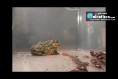 Giant African Bullfrog Eats Everything