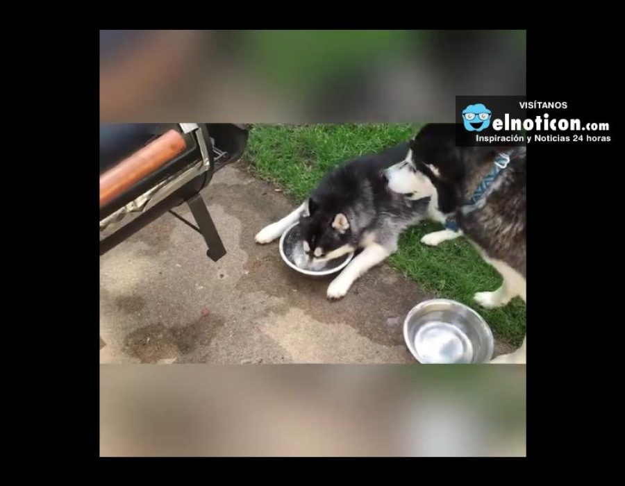 Husky Blows Bubbles In Her Water