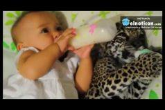 Bella es una bebé de 8 meses y Juma es un jaguar de 1 mes