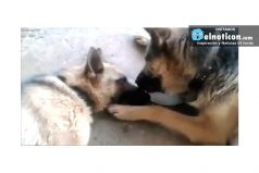 Father Dog Tenderly Licks Mom After She Gave Birth To Puppies