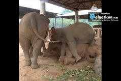 Elephant Lullabies