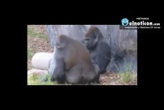 Gorilla Gives His Mate The Finger
