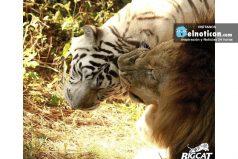 Este león perdió su gloriosa melena para poder estar con el amor de su vida: una tigresa blanca