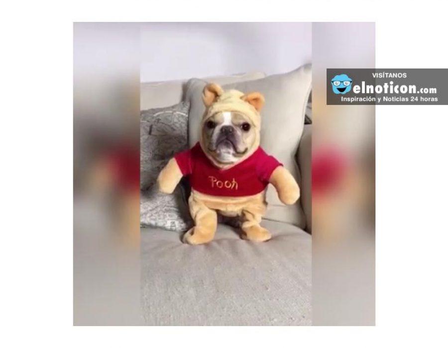 Winnie The French Bulldog