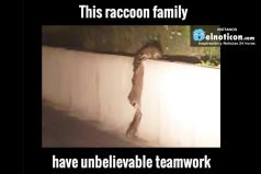 Raccoon Family Have Unbelievable Teamwork