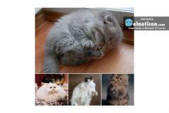 Estos gatos son auténticas bolitas de pelo ¡más esponjosos imposible!