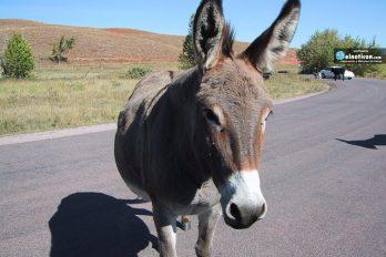 ¿Crees que los animales tienen sentimientos? Estos burros lloran la partida de un 'amigo' ¡Increíble!