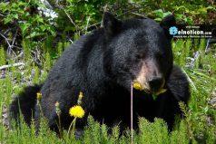 El oso que camina como humano genera curiosidad en Internet
