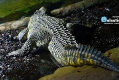 No querrás estar cerca de este enorme cocodrilo que se paseó en un campo de golf