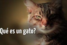 ¿Qué es un gato? Morirás de amor con las respuestas