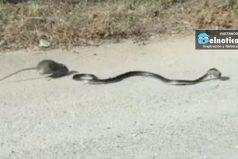Video capta la feroz lucha de una madre rata por salvar a su cría de ser devorada por una serpiente