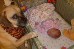Perro completamente enamorado del nuevo bebé