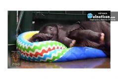 Tierno bebé elefante se baña en una piscina