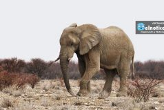 Este pequeño elefante enfrentó solo a 14 leonas ¡Qué valiente!