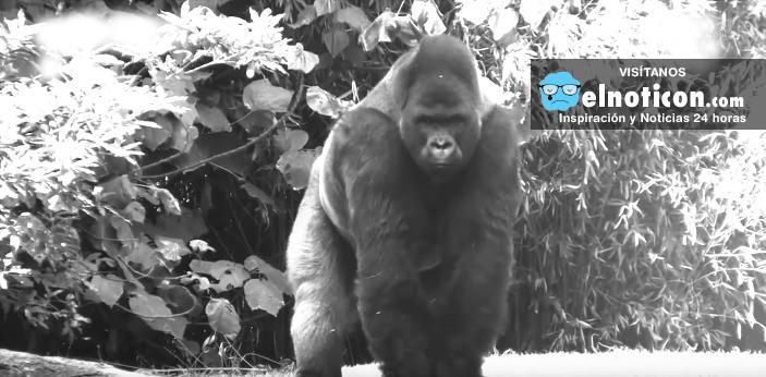 La triste historia de Bantú, el gorila más querido en México