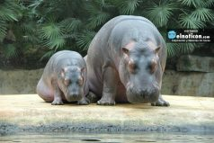 Mira este valiente hipopótamo pequeño que defendió a su mamá de un león