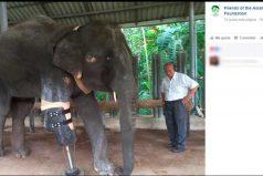 Mosha, el elefante que recibió una prótesis para su pata delantera