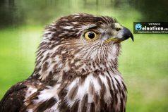 Este halcón ve por primera vez una cámara y mira cómo reaccionó